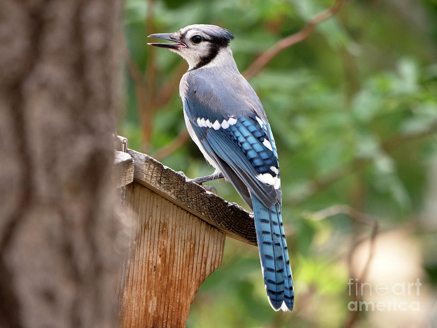 Bluejay Photograph - Handsome by Jennie MacDonald