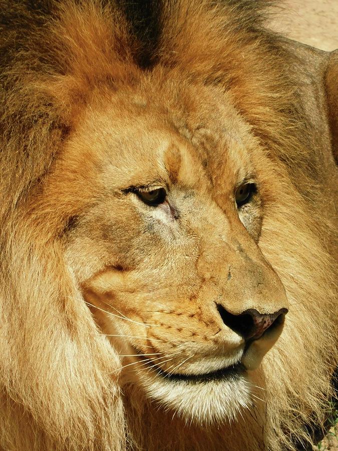 Happy Lion Portrait Photograph