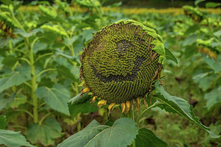 Happy Sunflower Photograph By Sandra Burm My take on news & current events. fine art america