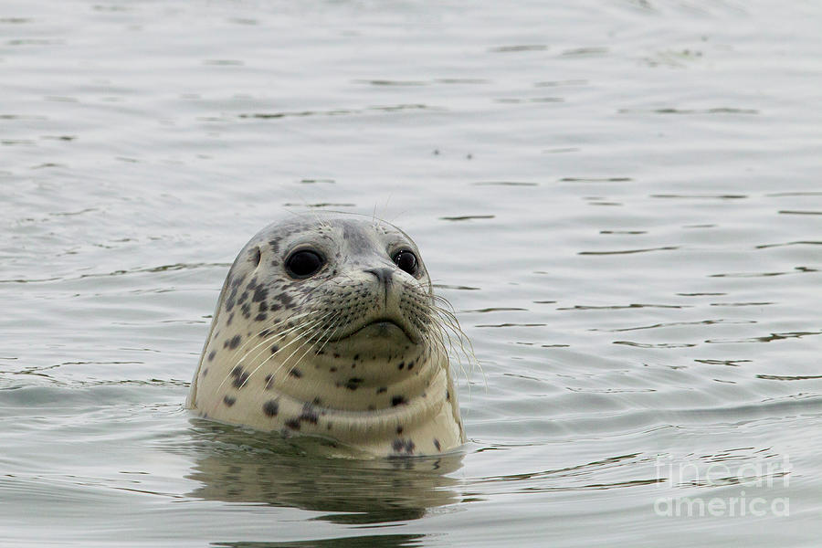 Harbor Seal Pup, Elkhorn Slough by Sebastian Kennerknecht