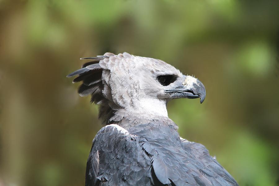 Harpy Eagle Panama National Bird Photograph