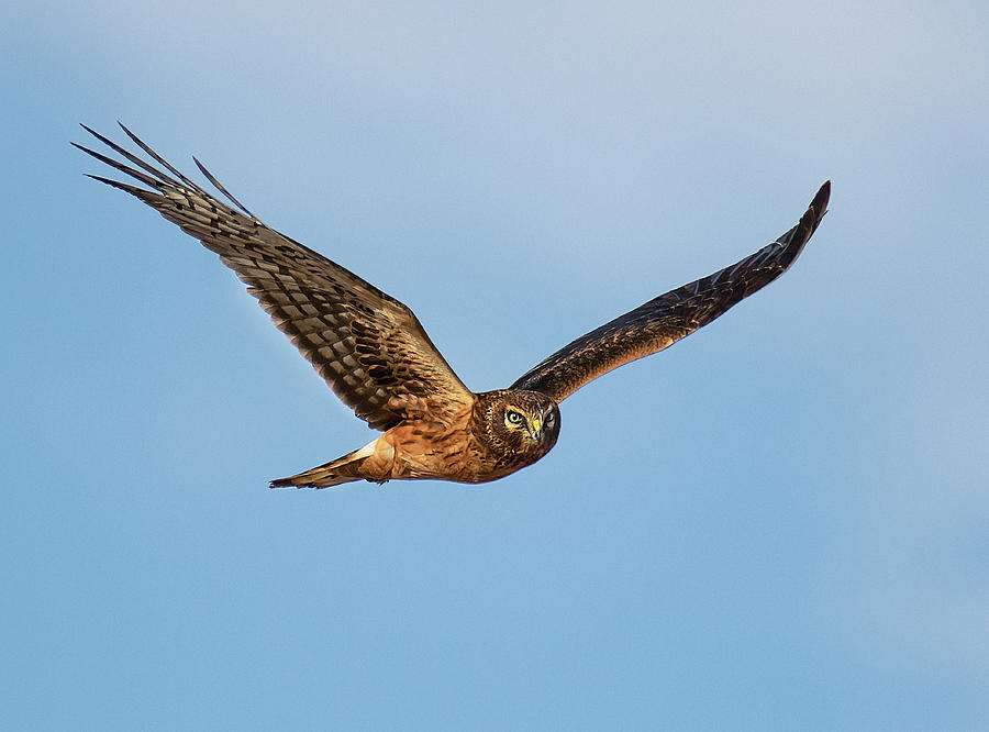 Harrier Hawk Glance by Art Cole
