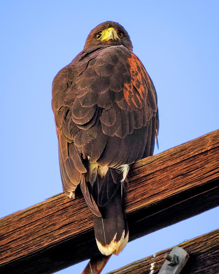 Harris Hawk V1900 Photograph