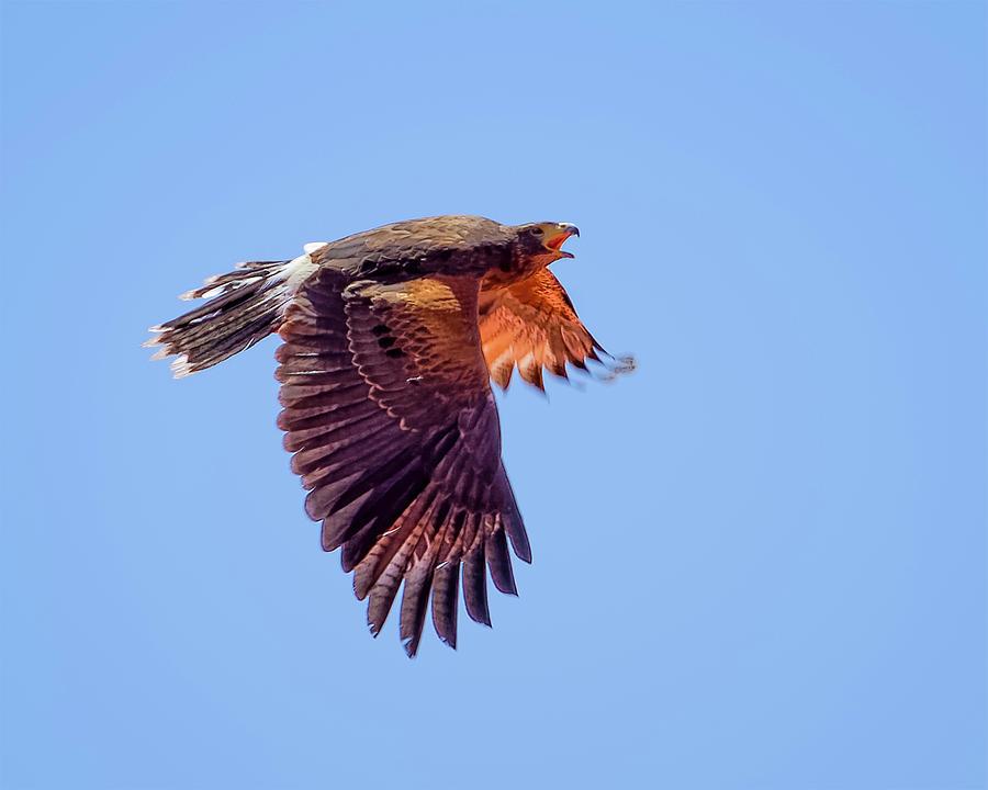 Harriss Hawk H1816 Photograph