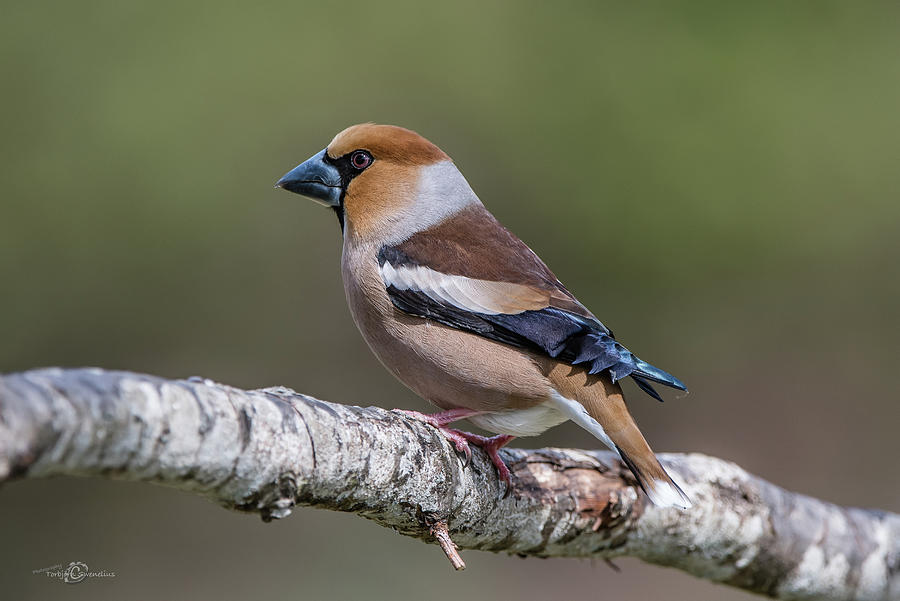 Hawfinch Perching On The Oak Branch Photograph