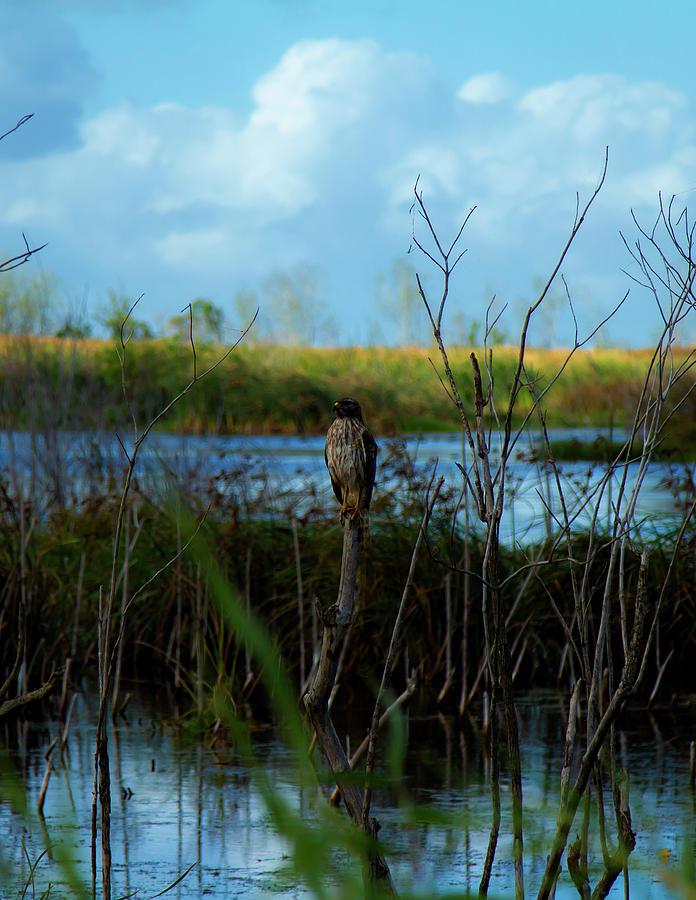 Hawk at Rest by Kevin Banker