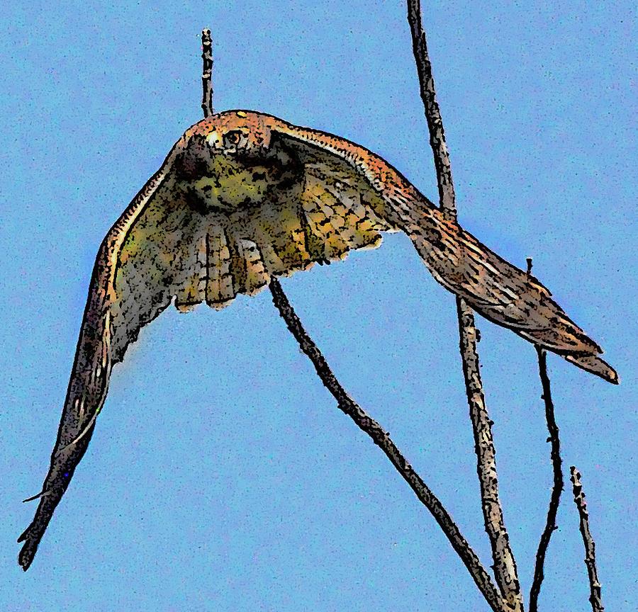 Hawk in flight  by Gene Bollig