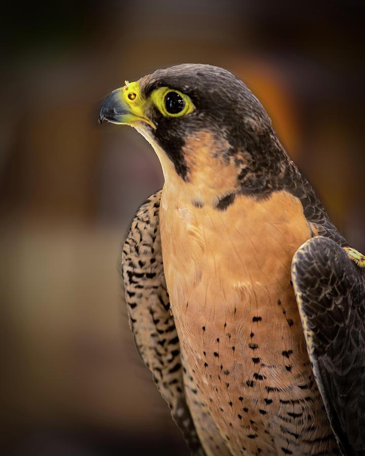 Hawk by Jeffrey Jensen