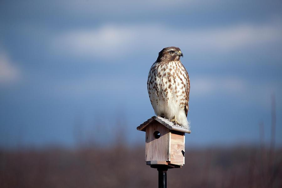 Hawk Look Out by Karol Livote