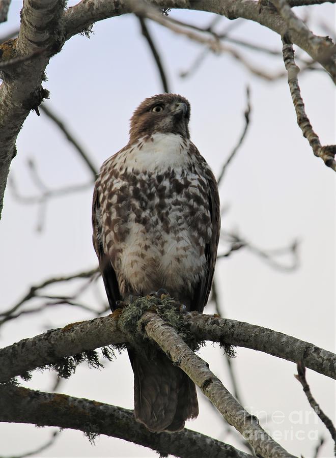 Hawk On A Branch Pyrography
