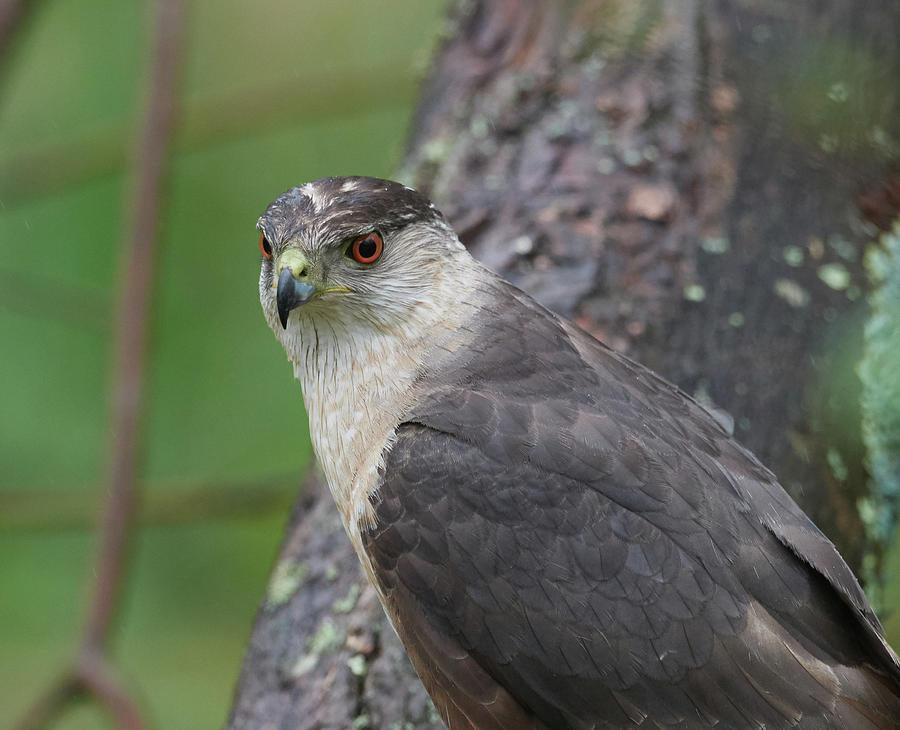 Hawk Portrait by Paul Freidlund