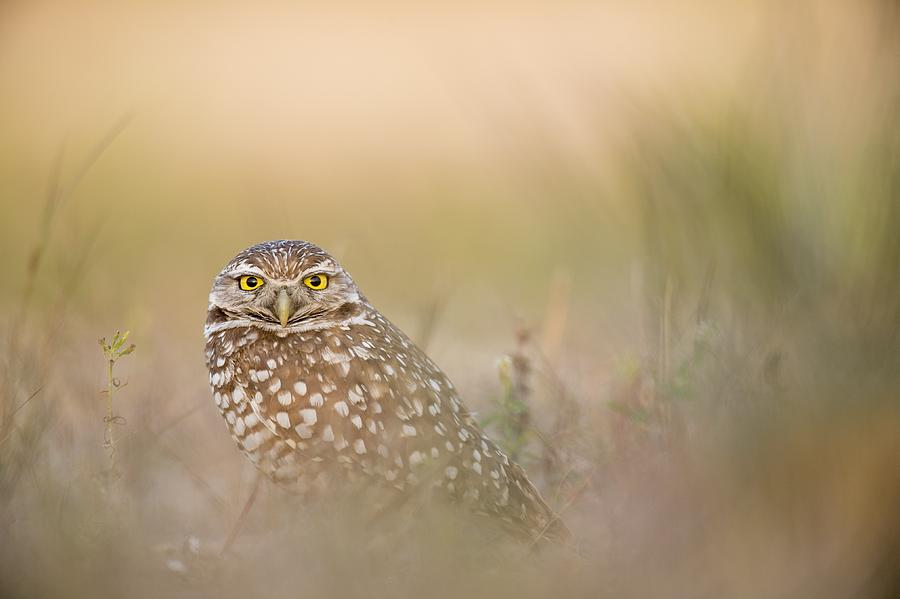 Hazy Owl by Joy of Life Arts
