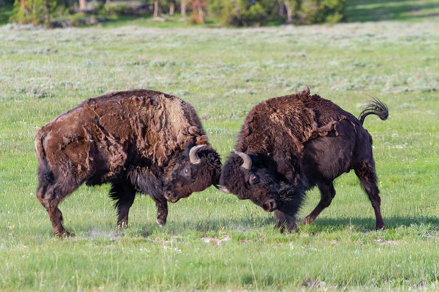 Yellowstone Photograph - Head First by James Marvin Phelps