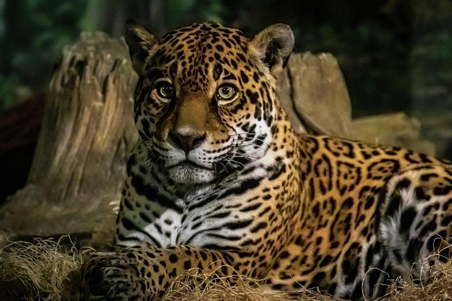 Headshot Jaguar by Terri Hart-Ellis