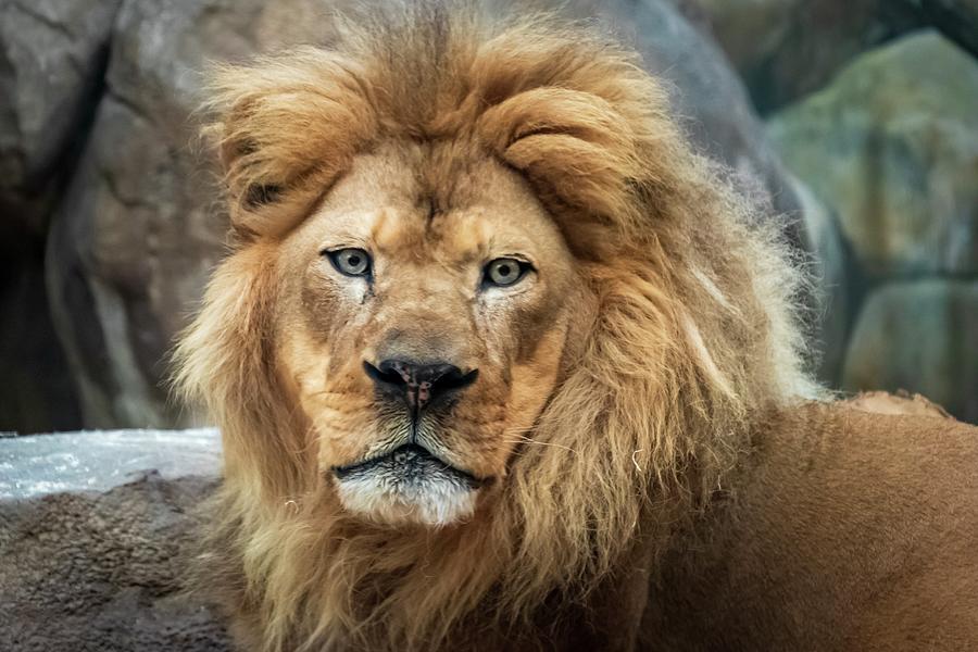Headshot Lion by Terri Hart-Ellis