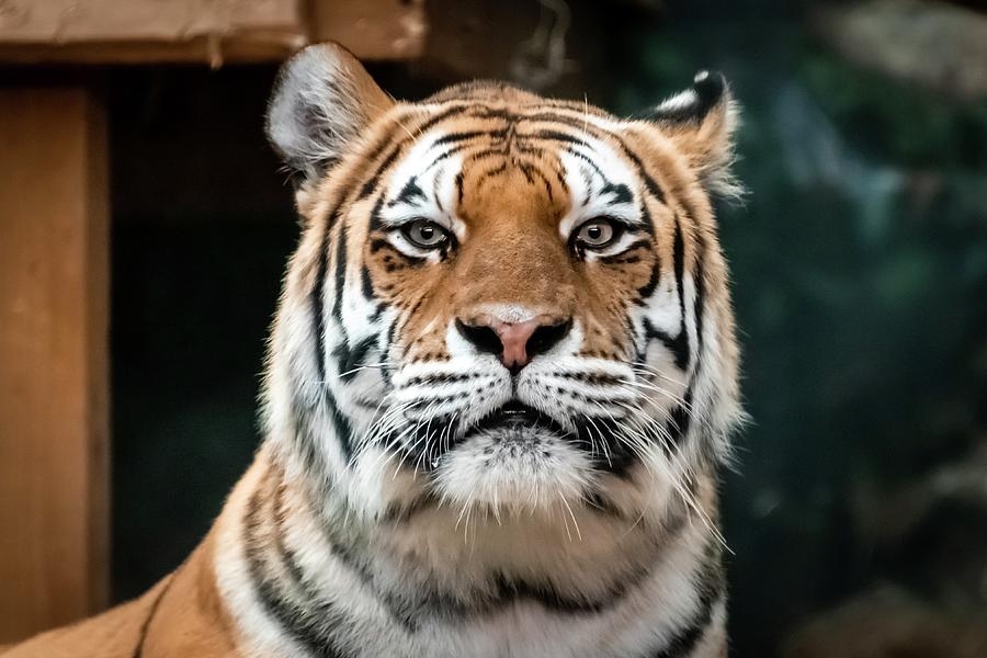 Headshot Tiger  by Terri Hart-Ellis