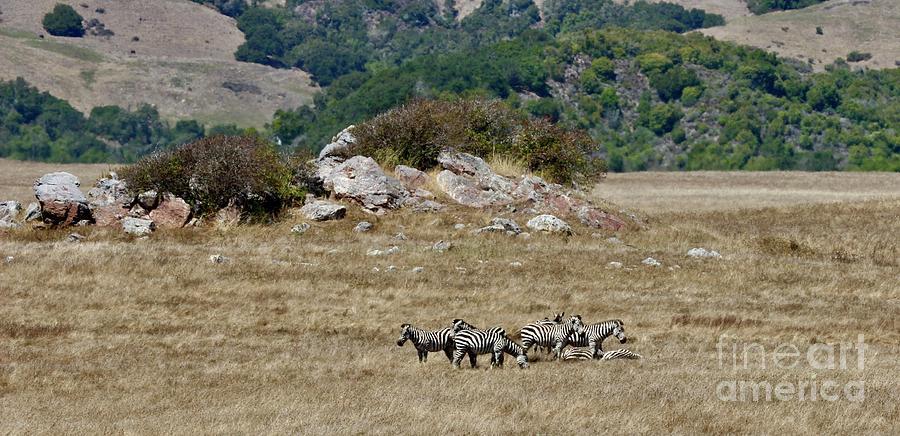 Hearst Castle Zebras Photograph