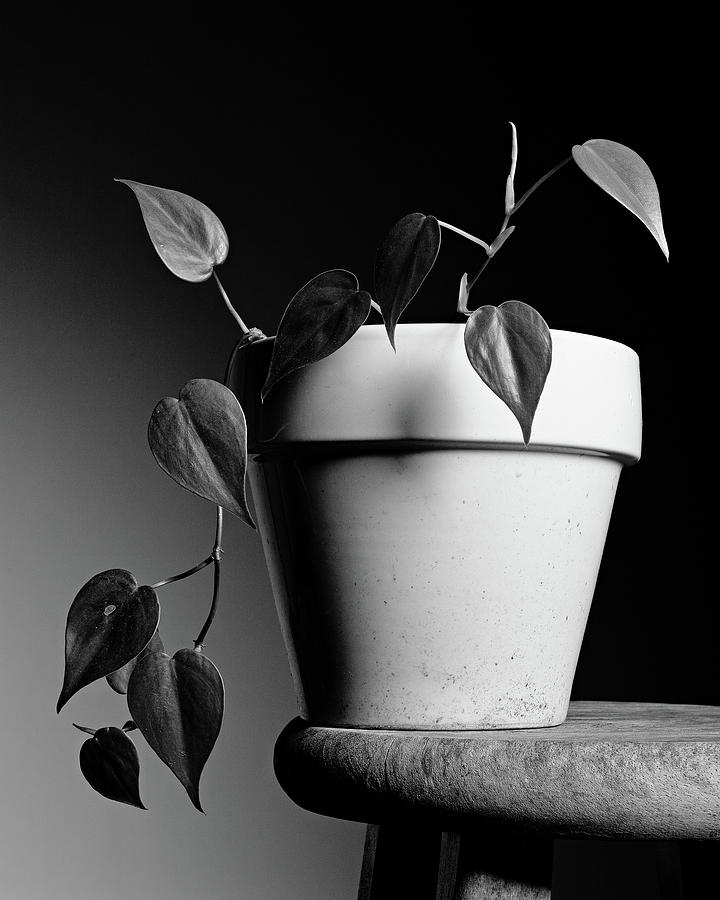Philodendron Photograph - Heart Leaf Philodendron by Stephen Russell Shilling