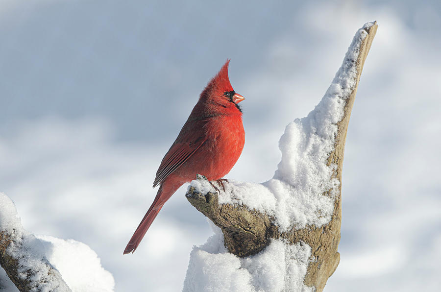 Cardinal Photograph - Heaven Sent by Jim Cook