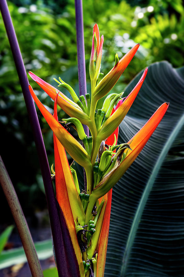 Heliconia Flower by Kelley King