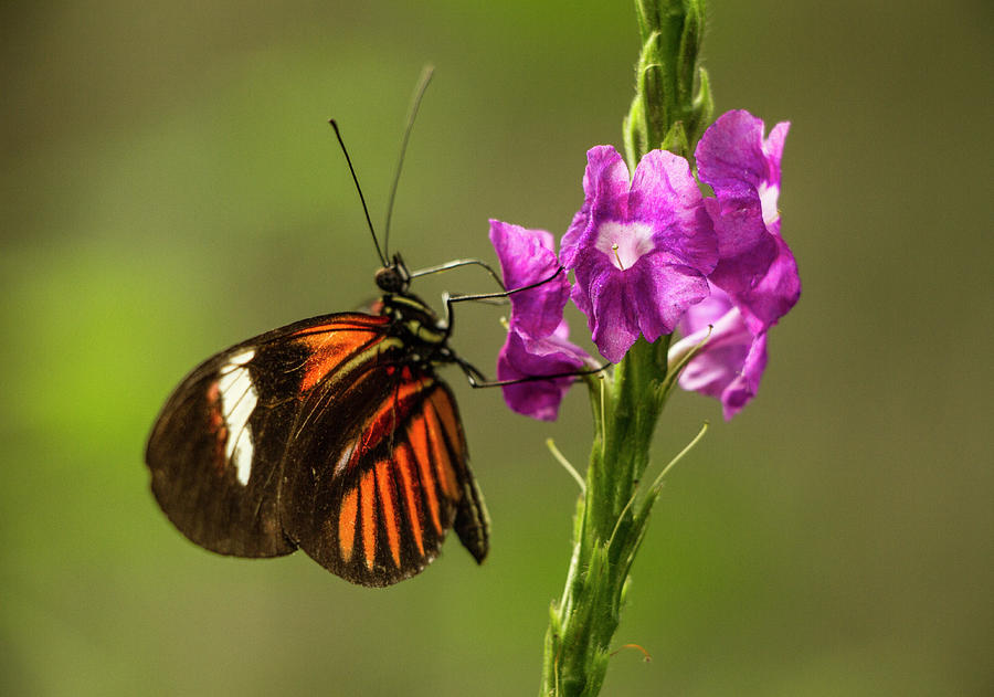 Butterfly Photograph - Heliconius Melpomene, Postman Butterfly on Pink Flowers by Venetia Featherstone-Witty