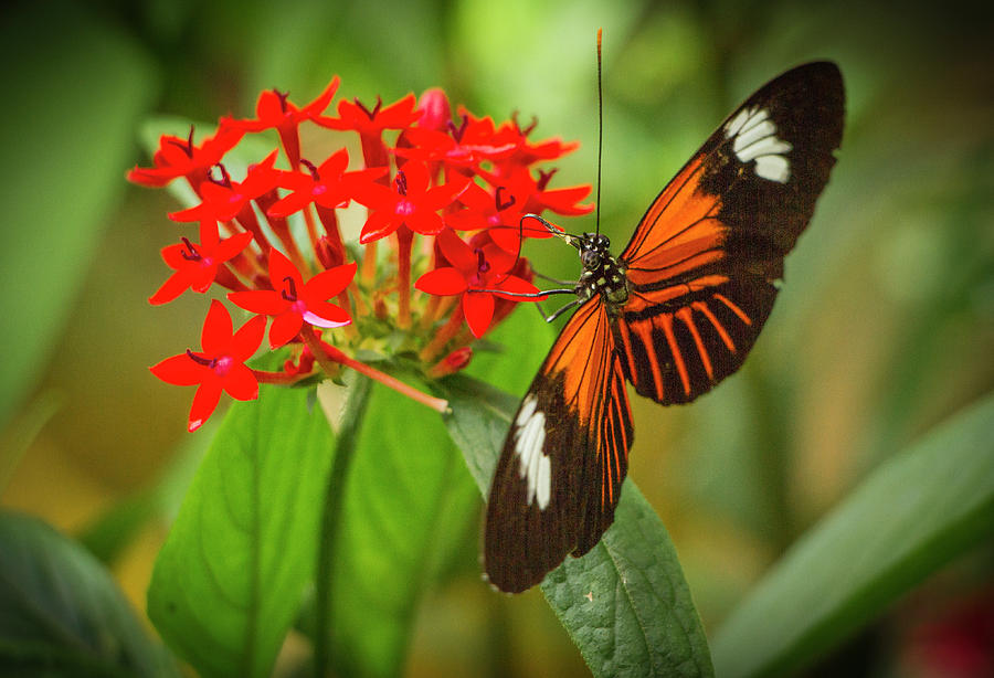 Butterfly Photograph - Heliconius Melpomene, Postman Butterfly by Venetia Featherstone-Witty