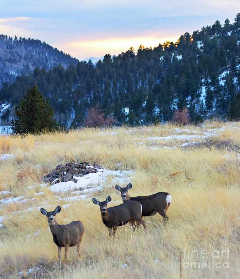 Herd Of Mule Deer In The Colorado Wintertime Photograph