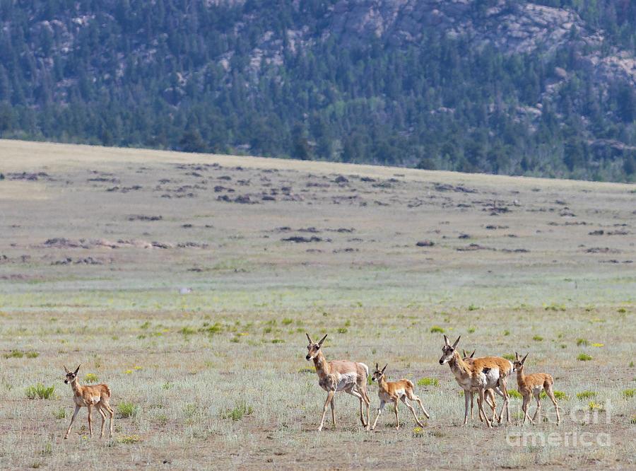 Herd Of Pronghorn Antelope Photograph