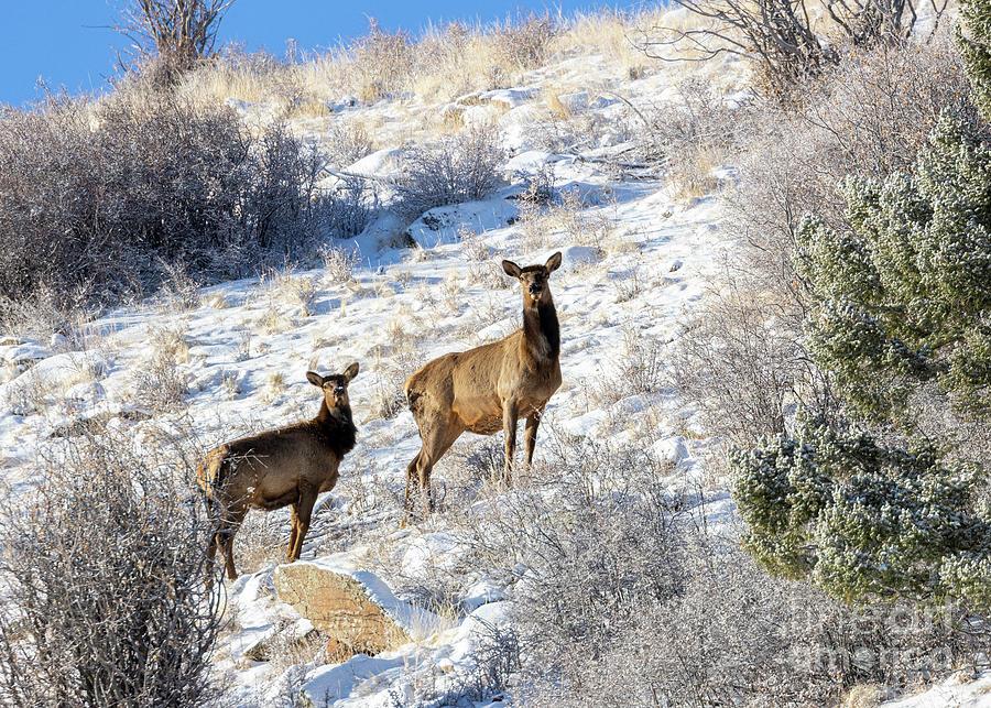 Herd Of Rocky Mountain Elk Photograph
