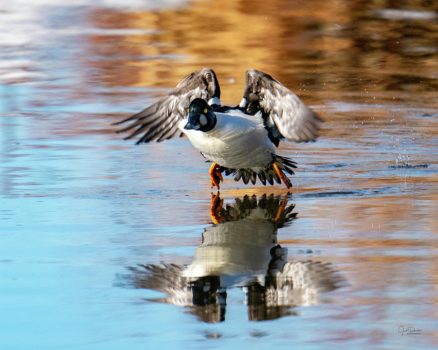 Here I come - Goldeneye taking off. by Judi Dressler
