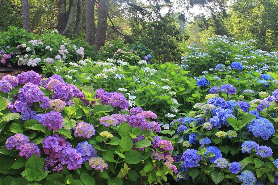 Heritage Gardens Hydrangeas Photograph
