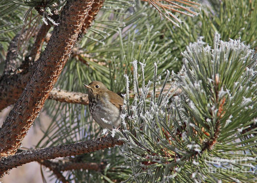 Hermit Thrush Photograph - Hermit Thrush by Gary Wing