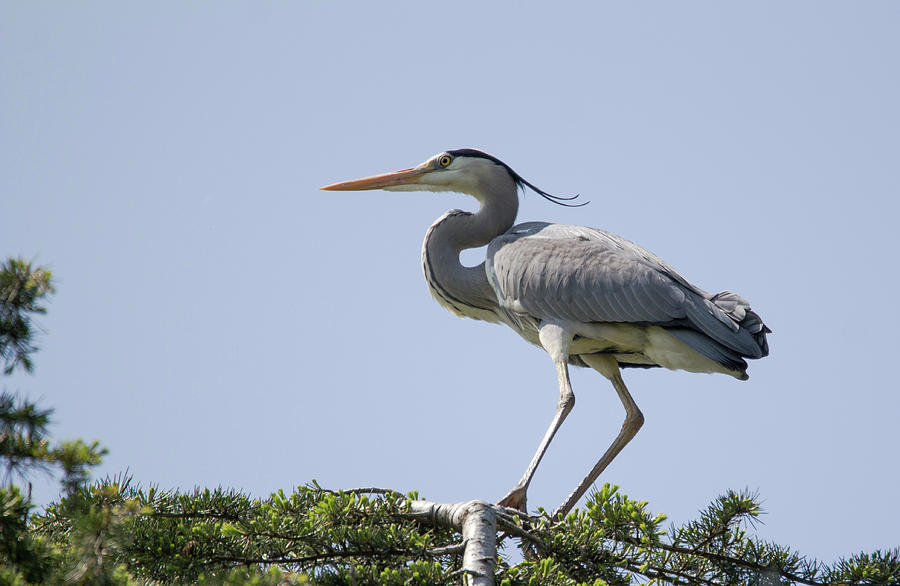 heron a on a tree by Pietro Ebner