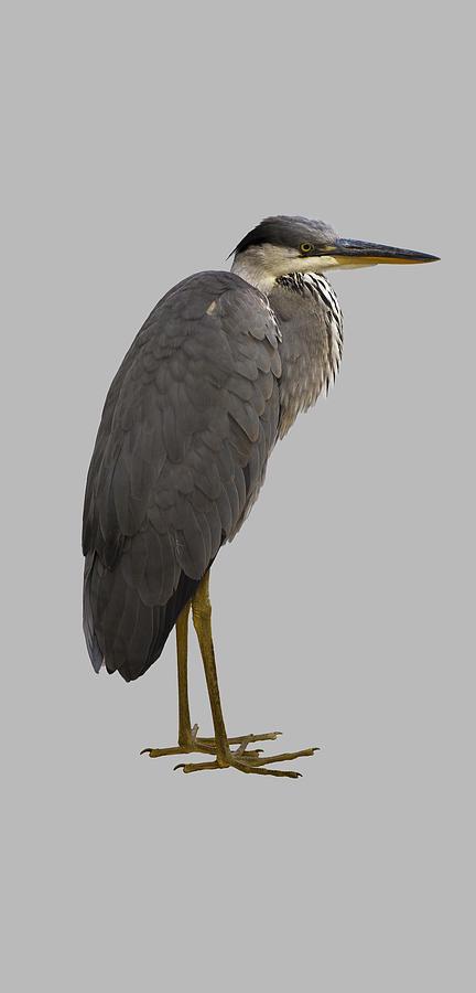 Heron by Attila Meszlenyi