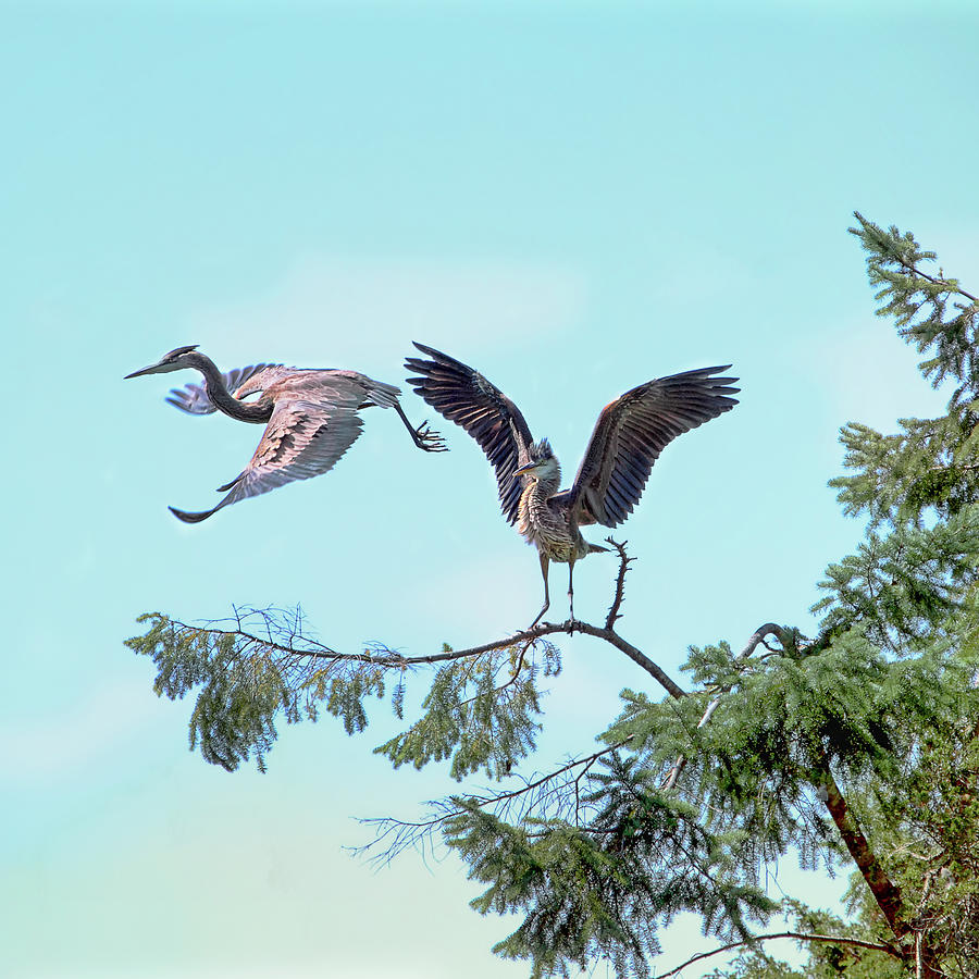 Birds Photograph - Heron Couple by Peggy Collins