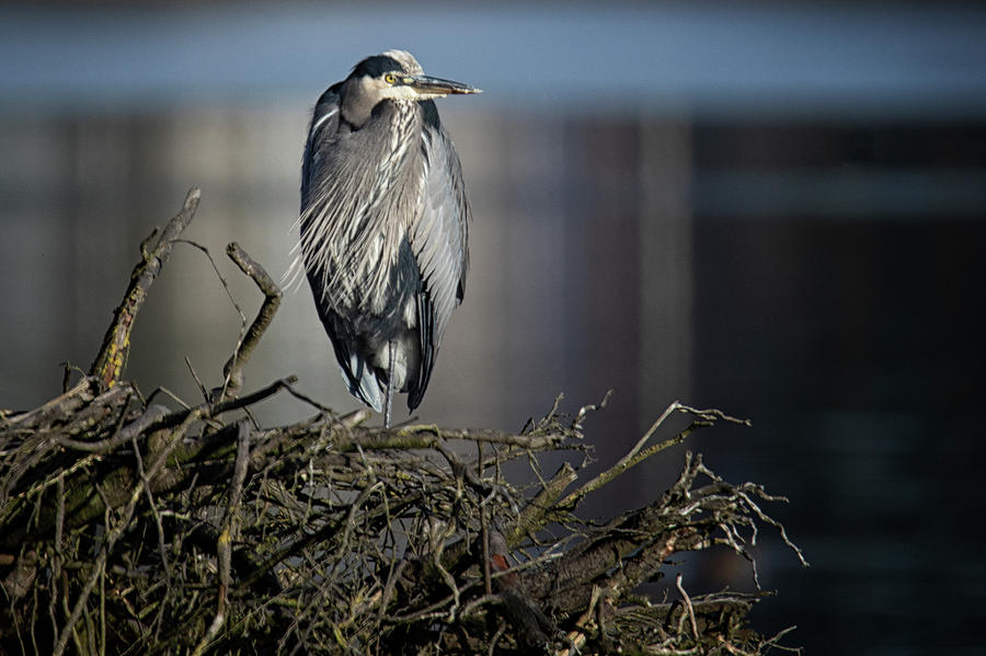 Heron in the Sun by Randy Hall