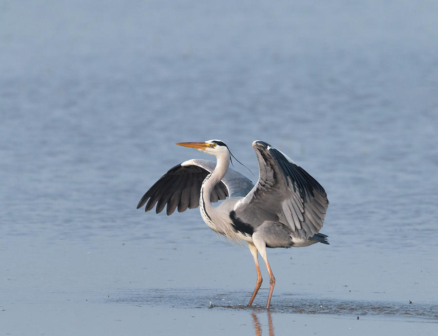 Heron in the water by Pietro Ebner