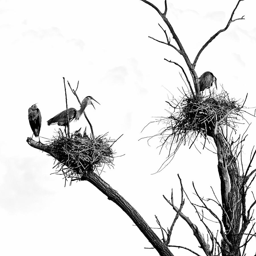 Heron Photograph - Heron on Nests 9 - UW Arboretum, Madison, WI by Steven Ralser