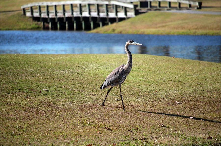 Heron Strolling  by Cynthia Guinn
