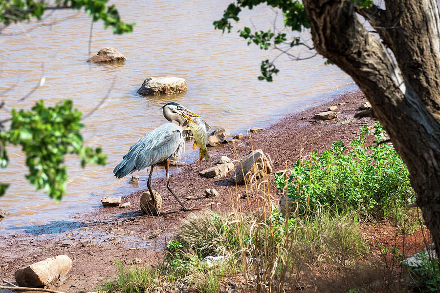 Heron With Its Feast Photograph