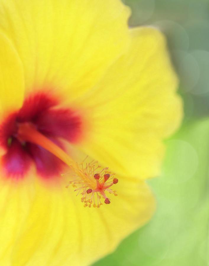 Hibiscus Dream Photograph