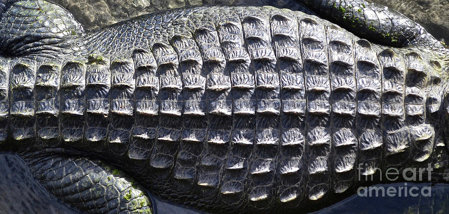 Hide Alligator, Hide Photograph