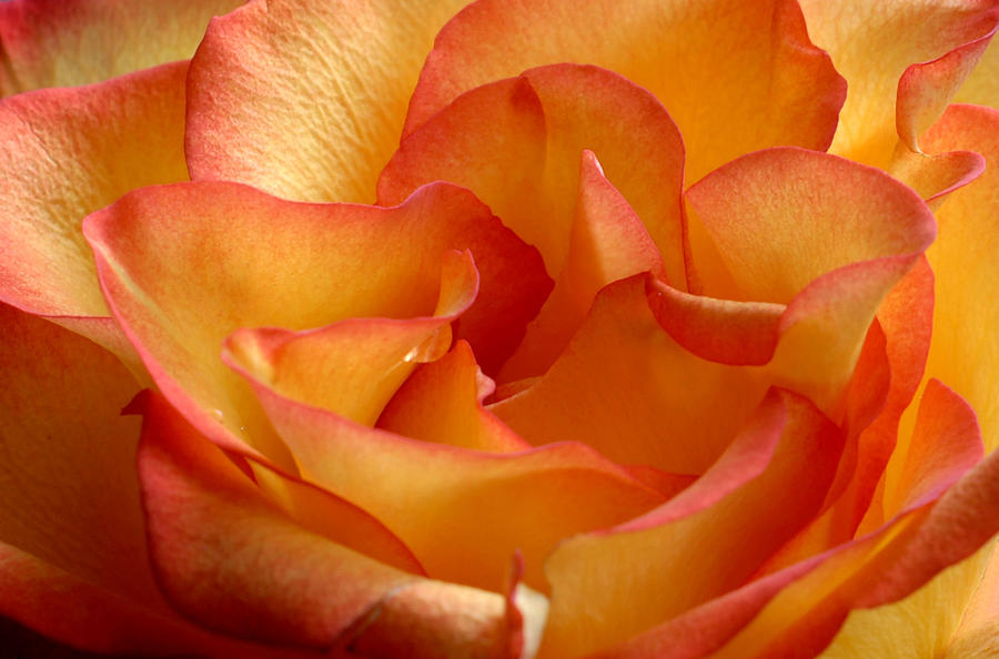 High And Magic Rose Photograph