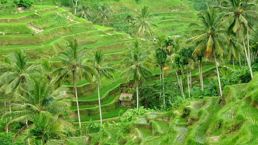 High Angle View Of Rice Field With Palm Trees At Bali Photograph by Joseph Jeanmart / EyeEm