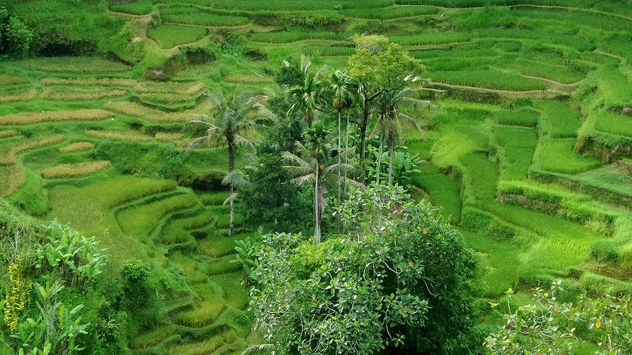 High Angle View Of Rice Paddy Photograph by Joseph Jeanmart / EyeEm