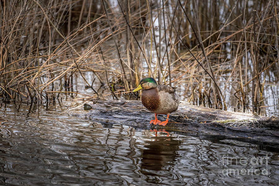 High Resolution Detailed Closeup of a Mallard Duck Standing on a by Patrick Wolf