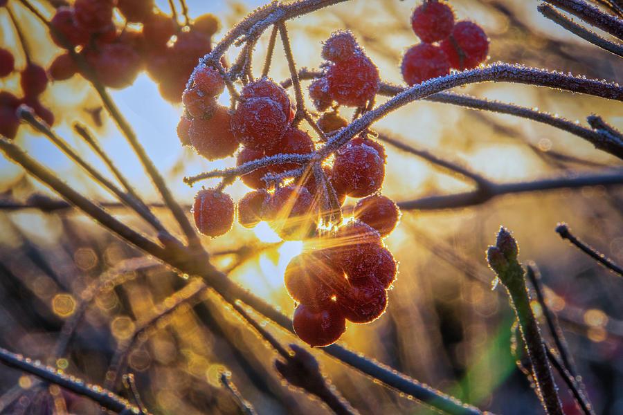 Highbush Cranberry Photograph