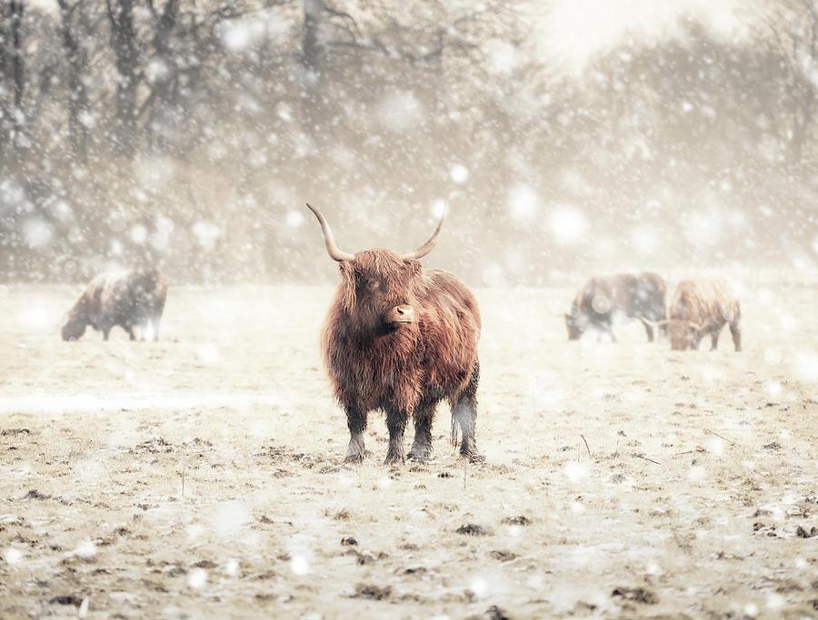 Highland Cattle Photograph