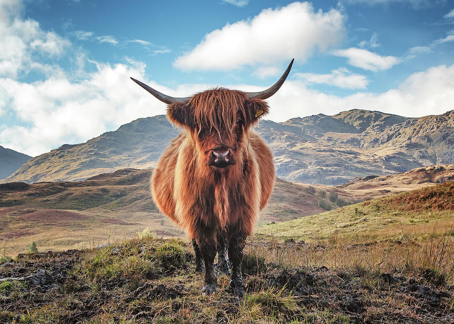 Highland Cow Photograph - Highland Cow Loch Lomond and Trossachs Park by Grant Glendinning
