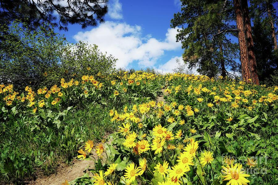 Hillside Of Balsam Root Flowers Photograph